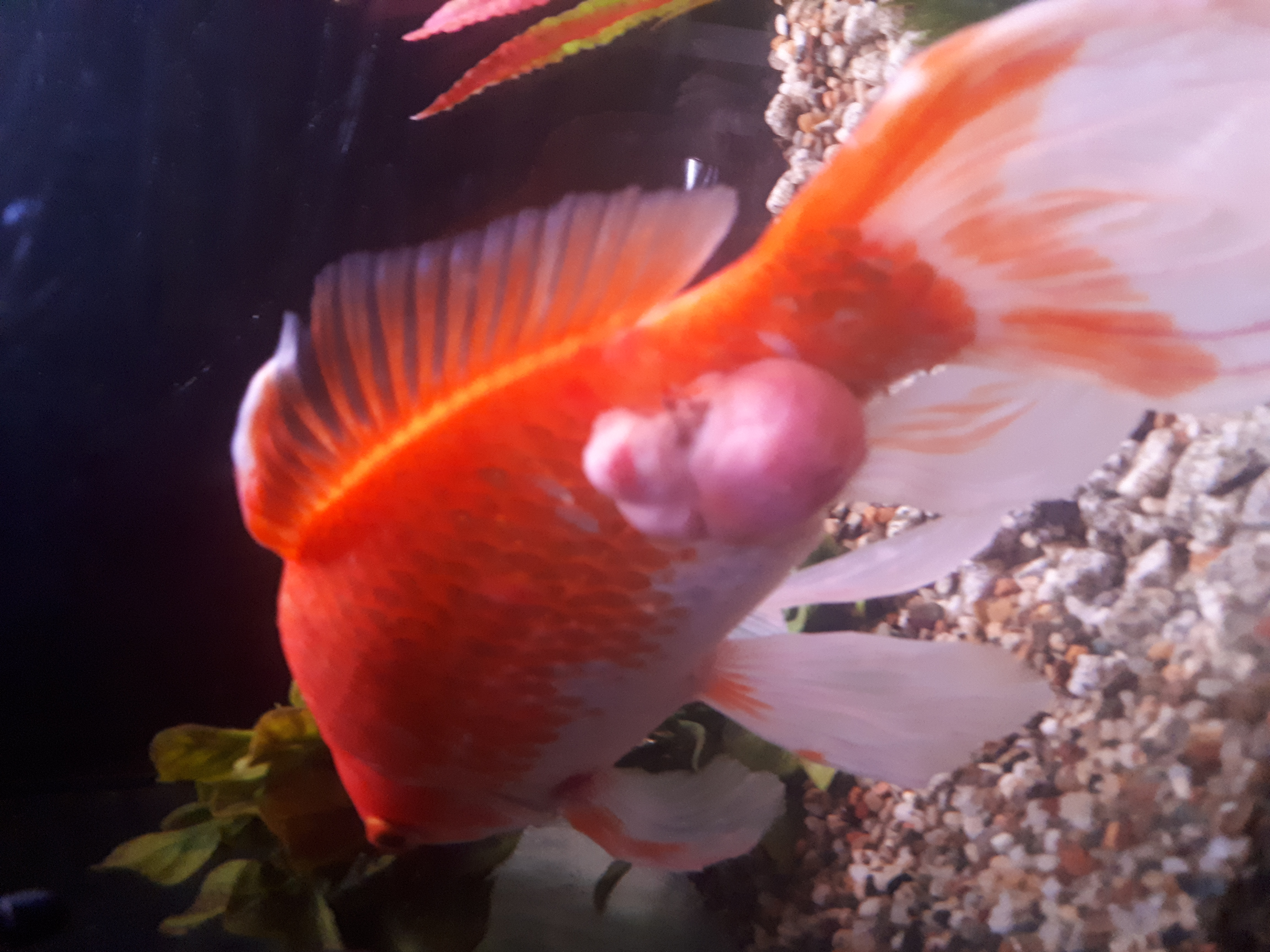 Tumore escrescenza pesce rosso pesci forum animali for Pesce rosso razza